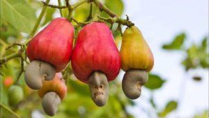 Тест: Вы точно знаете, где растут все эти плоды?