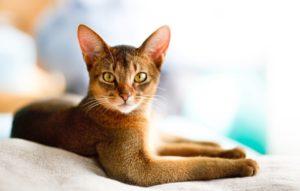 Мяу тест: Угадай породу кошки по фото.