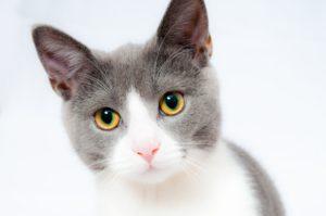 Тест: Как хорошо вы разбираетесь в породах кошек?