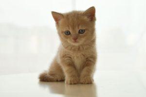 Тест: Какая порода кошек вам подходит