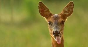 Тест: Сможете ли вы угадать животное по ушам?