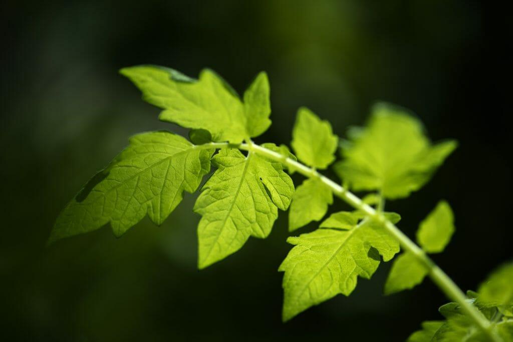 Тест: Отгадайте название растения по форме листа