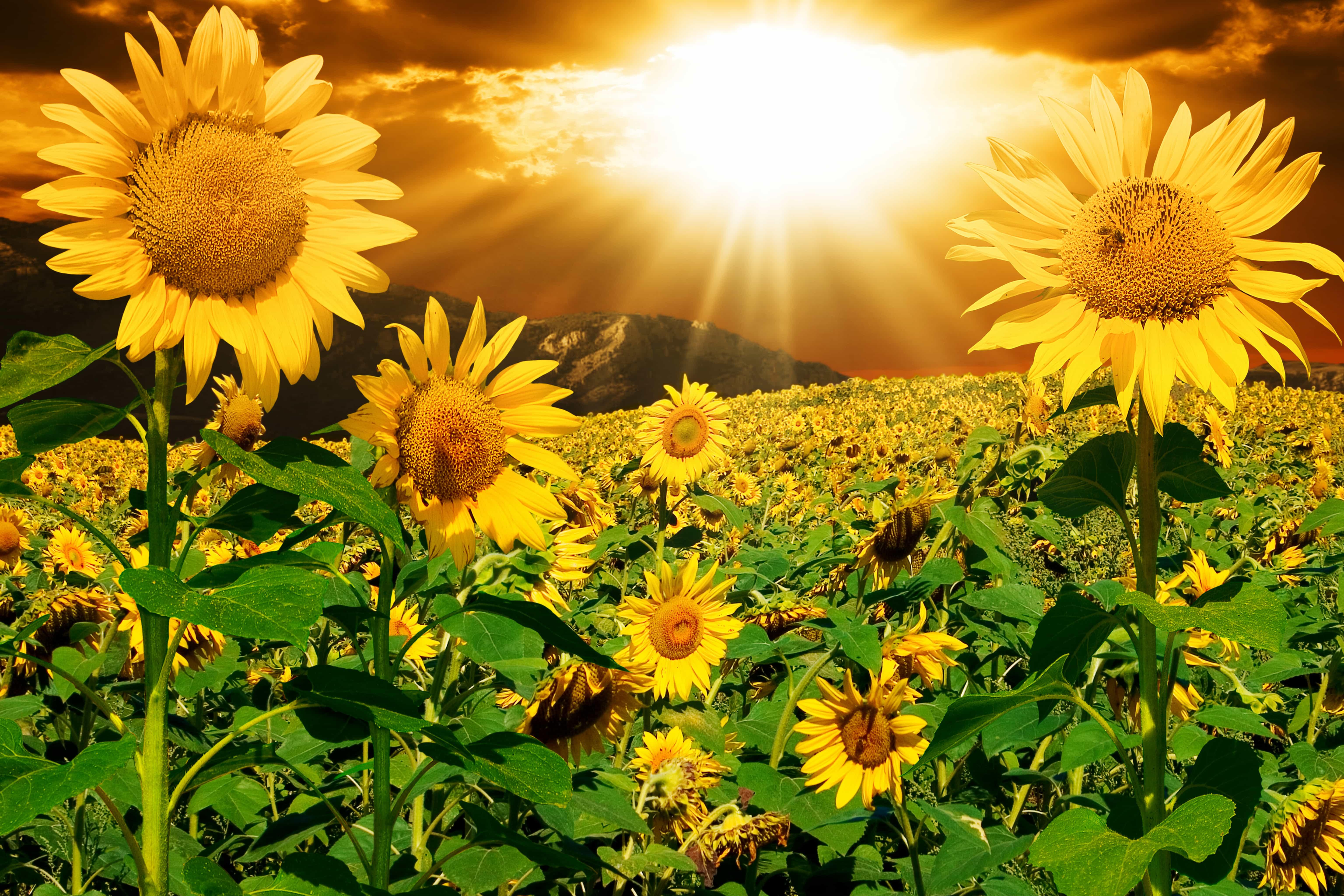 Солнце картинки с цветами